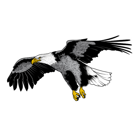 bird of prey: Vector illustration of eagle