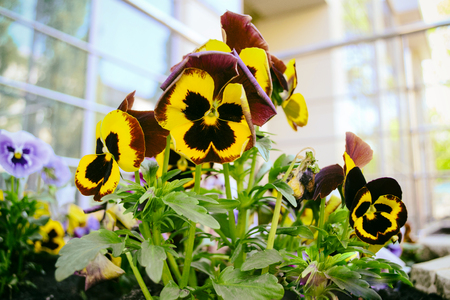 Viola tricolor flowers close up with buds. Flower bed of pansies.