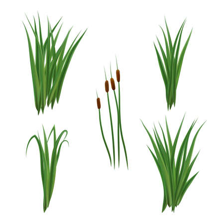 Realistic reeds and rushes isolated on white background. Set of marsh grass and plants.
