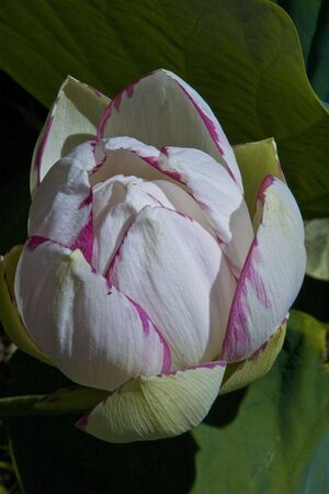 tinge: Lotus flower with pink tinge