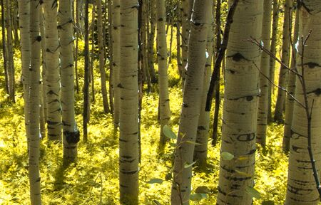 quaking aspen: sunlight showing off the aspen forest floor  Stock Photo