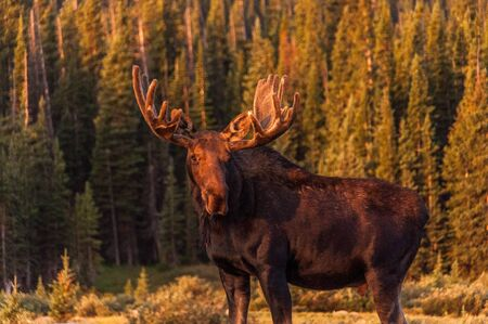 Bull moose in velvet with sunlight glowing on antlers photo