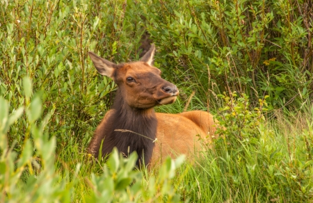 Cow Elk laying in green grass watching for danger