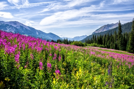 Fireweed highlights the view along the road near Gothic Colorado looking south to Crested Butte Stok Fotoğraf - 21421833