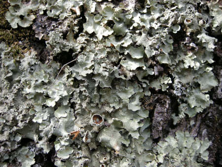 Foliose lichen on the bark of a tree; pine and oak forest in central Mexico.