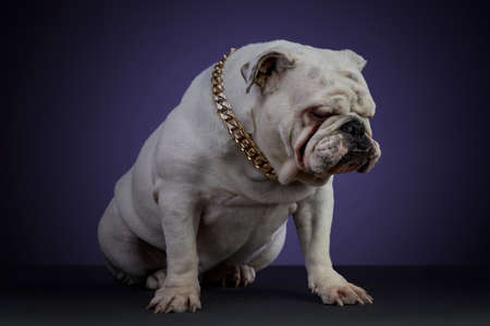 White bulldog dog in studio session with a golden collar and different poses, on a gray surface and a purple background