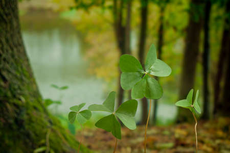Three-leaf clover in the woods even by a lake with trees in the background