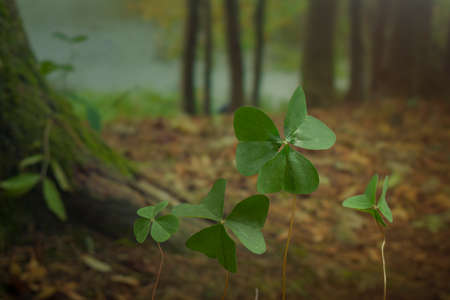 Three-leaf clover in the woods even by a lake with trees in the background Foto de archivo