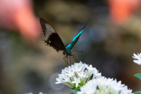 Beautiful macro picture of a butterfly, Papilio palinurus, also known as Emerald Banded Peacock. Place of Origin is Indonesia, Southeast Asia.