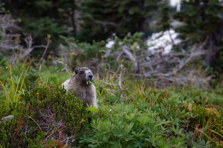 Large Marmot eating grass. Taken in Garibaldi Provincial Park, BC, Canada.