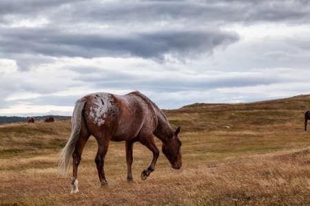 Wild Horse on the Atlantic Ocean Coast during a cloudy evening. Taken in Dungeon Provincial Park, Bonavista, Newfoundland, Canada. Standard-Bild