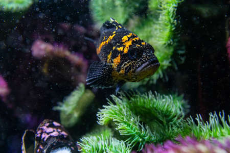 Black and Yellow Colored Rockfish in water. Found in Pacific Ocean.