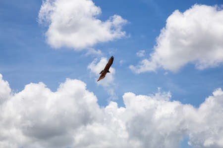 Big Black Turkey Vulture flying with a cloudy blue sky background during a sunny summer day. Taken in Ciego de Avila, Cuba. Stock Photo