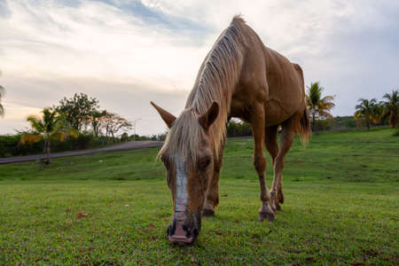 Horse eating green grass in a field during a cloudy sunset. Taken in Trinidad, Cuba. Stock Photo
