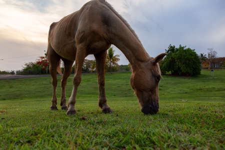 Horse eating green grass in a field during a cloudy sunset. Taken in Trinidad, Cuba.