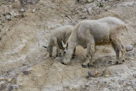 Mother Mountain Goat and her kid in Jasper National Park, Alberta, Canada.