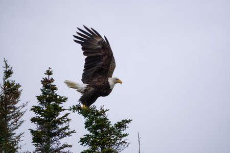 Big Bold Eagle siedzący na szczycie drzewa. Zrobione w Nowej Funlandii w Kanadzie. Zdjęcie Seryjne