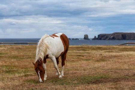 Wild Horse on the Atlantic Ocean Coast during a cloudy evening. Taken in Dungeon Provincial Park, Bonavista, Newfoundland, Canada. Archivio Fotografico