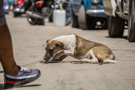 Poor, unwanted, homeless dog in the Streets of Old Havana City, Capital of Cuba, during a sunny day. Zdjęcie Seryjne