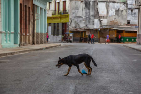 Homeless dog running in the Streets of Old Havana City, Capital of Cuba, during a sunny morning.