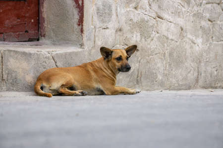 Cute little dog in the Streets of Old Havana City, Capital of Cuba, during a sunny day.