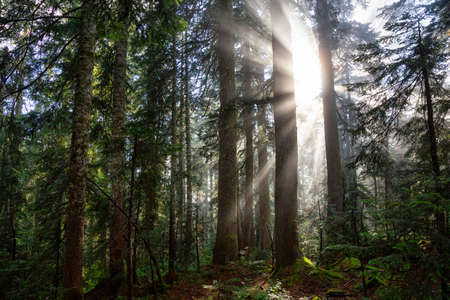 Dreamy View of the Sunrays in a Rainforest during a sunny and foggy day. Taken in Cypress Provincial Park, West Vancouver, British Columbia, Canada. Nature Background