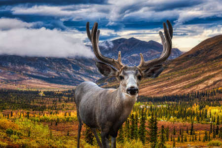 A male Deer in Canadian Nature during colorful Fall Season. Artistic Composite. Background from Tombstone Park, Yukon, Canada.