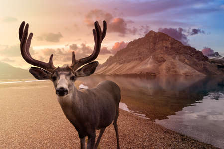 A male Deer in Canadian Nature composite. Beautiful landscape view of Bow Lake in Banff National Park, Alberta, Canada. Dramatic Colorful Sunrise Sky.