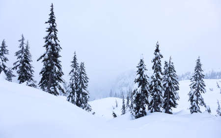Canadian Nature Landscape covered in fresh white Snow during winter. Taken in Seymour Mountain, North Vancouver, British Columbia, Canada. Nature Background Panorama