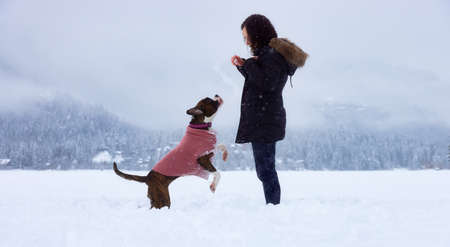 Adorable Boxer Dog playing with her owner in snow covered frozen lake during winter time. Alta Lake, Whistler, British Columbia, Canada. 版權商用圖片