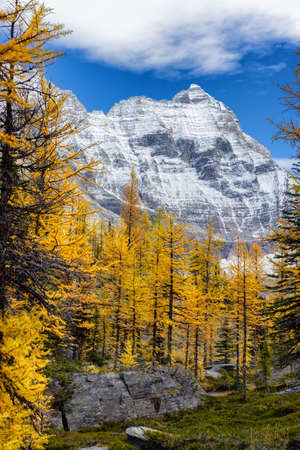Scenic View of Yellow Larches Trees with Canadian Rocky Mountains in Background. Sunny Fall Day. Located in Lake OHara, Yoho National Park, British Columbia, Canada.
