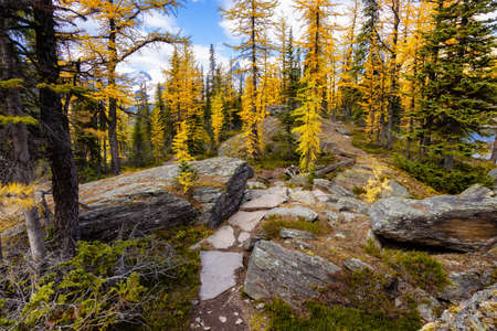 Scenic Hiking Trail in the woods with Yellow Larches Trees and Canadian Rocky Mountains in Background. Sunny Fall Day. Located in Lake OHara, Yoho National Park, British Columbia, Canada.