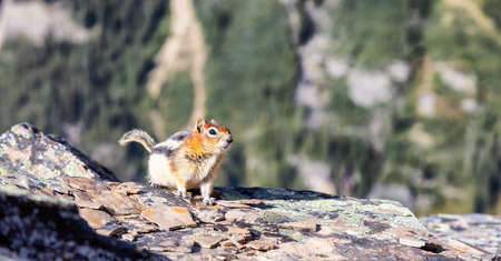 Small Chipmunk up on a rocky Canadian Mountain. Located in Lake OHara, Yoho National Park, British Columbia, Canada.