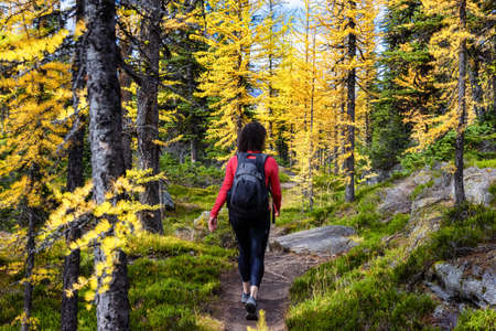 Adventurous Caucasian Woman Hiking on a Trail in the woods with Yellow Larches Trees and Canadian Rocky Mountains in Background. Located in Lake OHara, Yoho National Park, British Columbia, Canada.