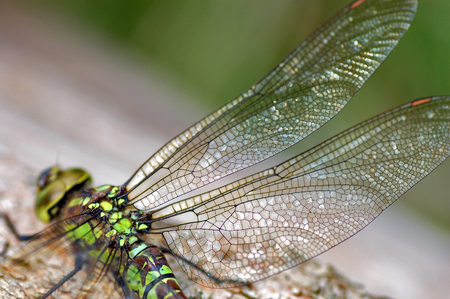 dragonfly focus wings in closeup macro photo