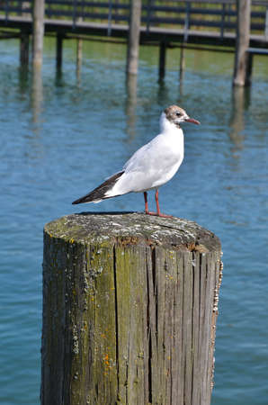 pier: Seagull on wood in the water close up