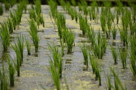 Close up of rice plants inside Jatiluwih rice terraces in Bali, Indonesia
