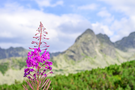 Closeup on a single fireweed flower with a blurred mountain and creeping pines in the background on a sunny day. Tatra Mountains, Poland Stock Photo