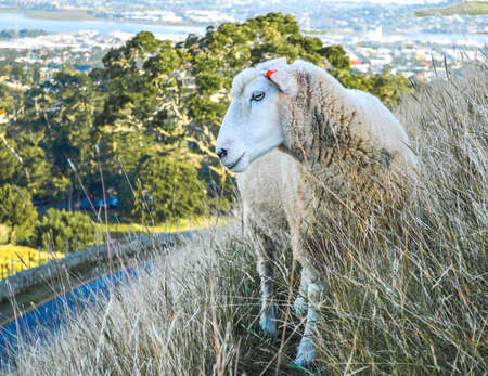 New Zealand Sheep in the park in Auckland