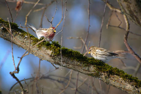 Two small redpolls on the branch in winter photo