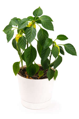 Pepper plant in a pot isolated on a white background