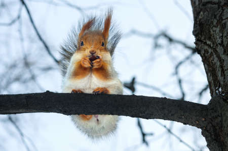 furry: Furry gray squirrel on branch in winter