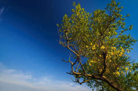 Green old tree with yellow flowers in blue sunny sky