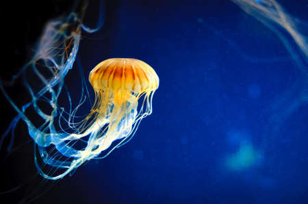 Orange jellyfish or Chrysaora fuscescens or Pacific sea nettle on deep blue