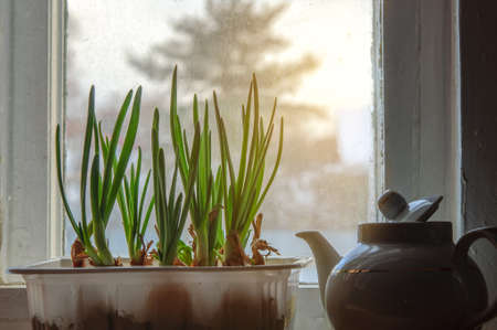 Green onion cultivation at window sill in village Stock Photo