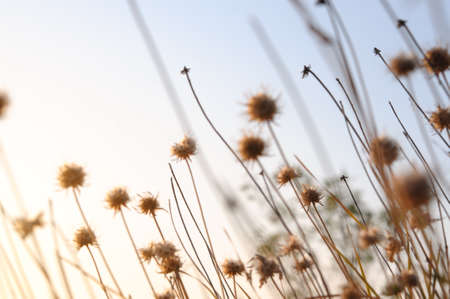 Beautiful sunrise light through thorn or bur flowers and grass Stock Photo