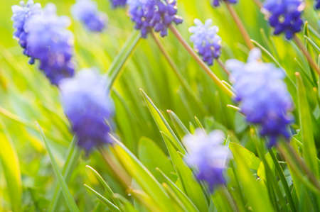 Many Grape Hyacinth or Muscari Latifolium botryoides flower bulbs blooming blue in spring