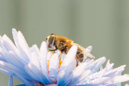 Bee or honeybee on violet blue flower blossom Stock Photo