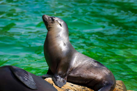 Sunbathing sea lion relaxing on the stone at Berlin Zoo