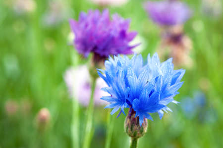 Blue and violet spring flowers in garden